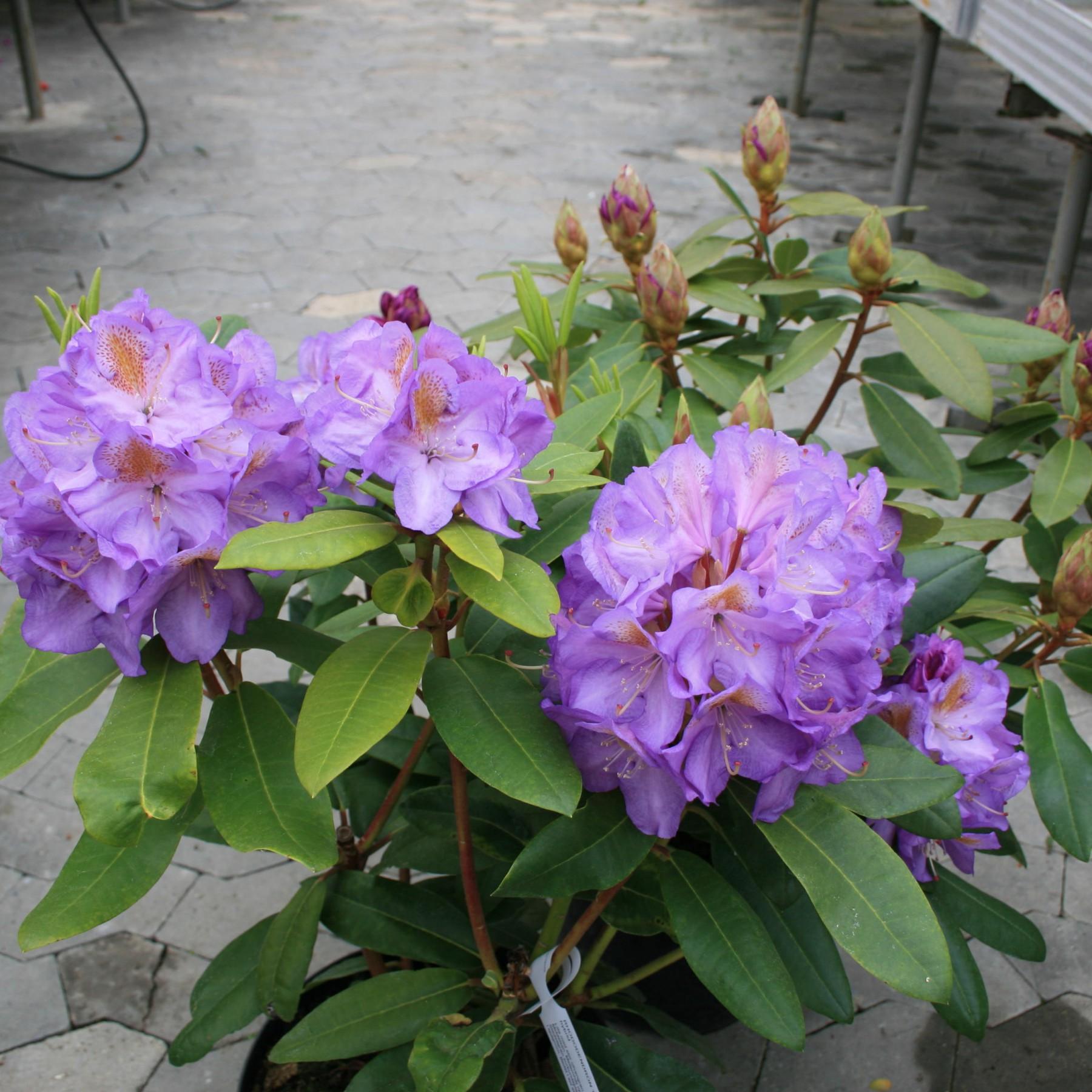 Blutopia - Storbladet hybrid stedsegrøn - Rhododendron