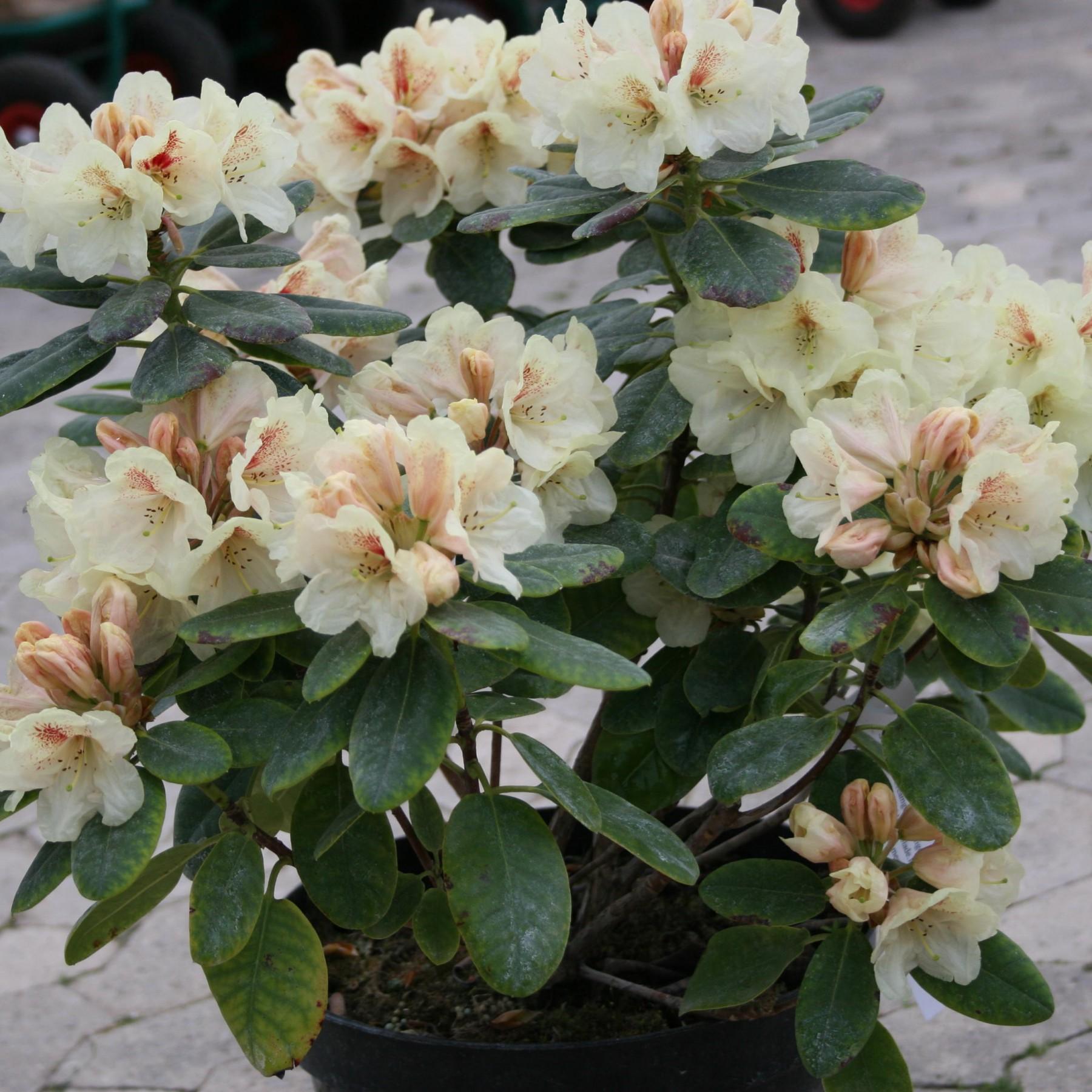 Goldbukett - Rhododendron