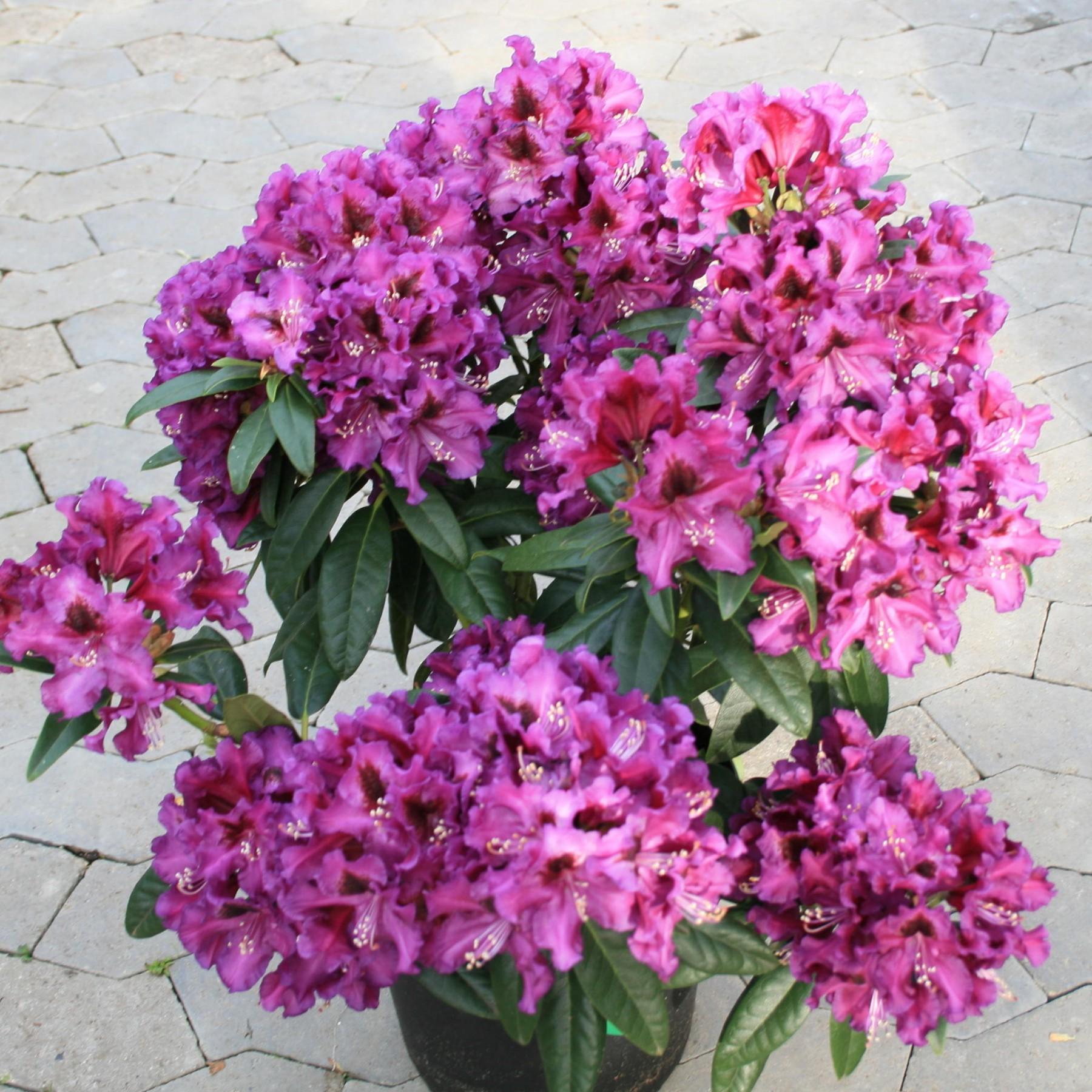 Purple Splendour - Storbladet hybrid stedsegrøn - Rhododendron