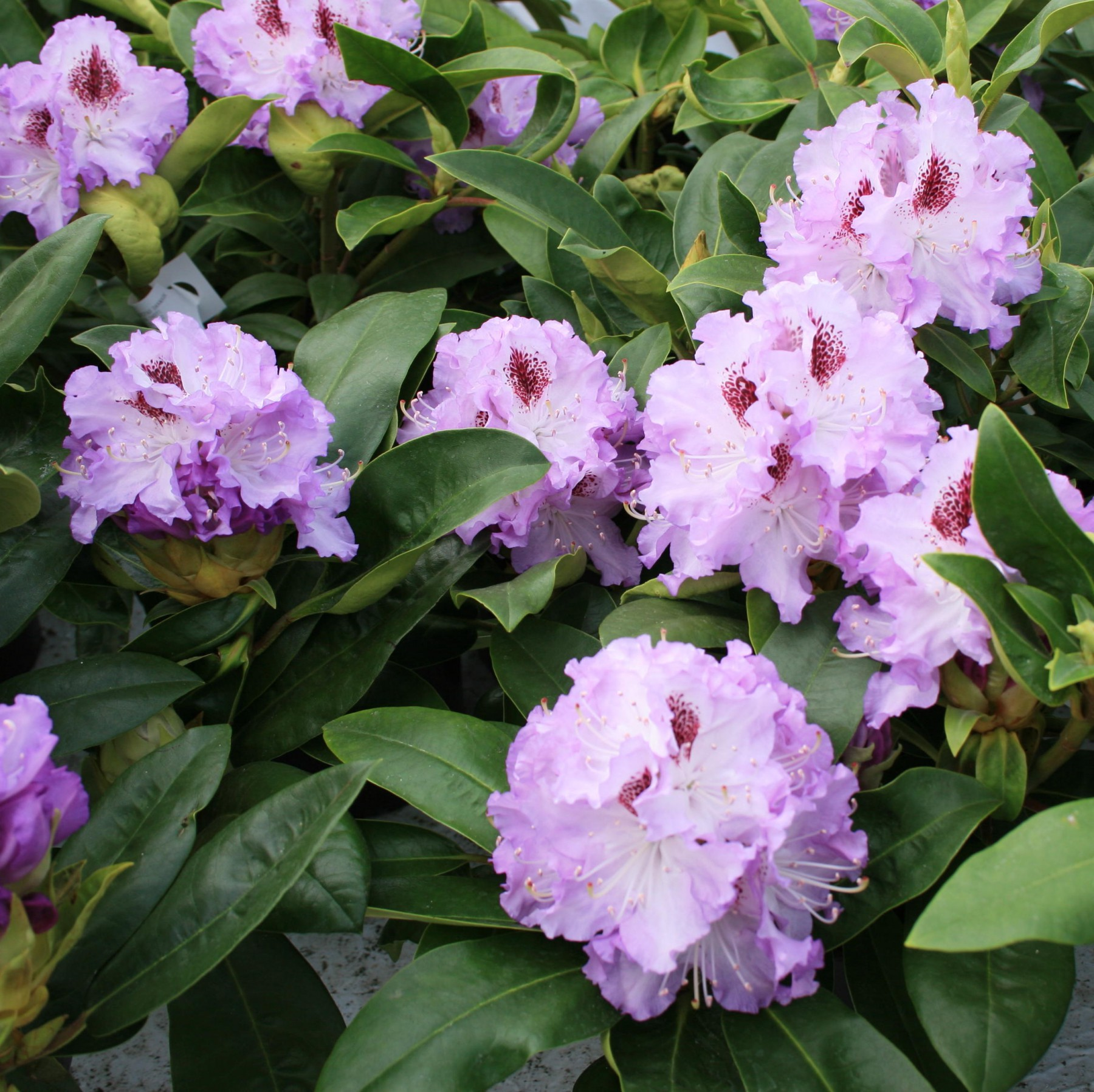 Blue Peter - Rhododendron