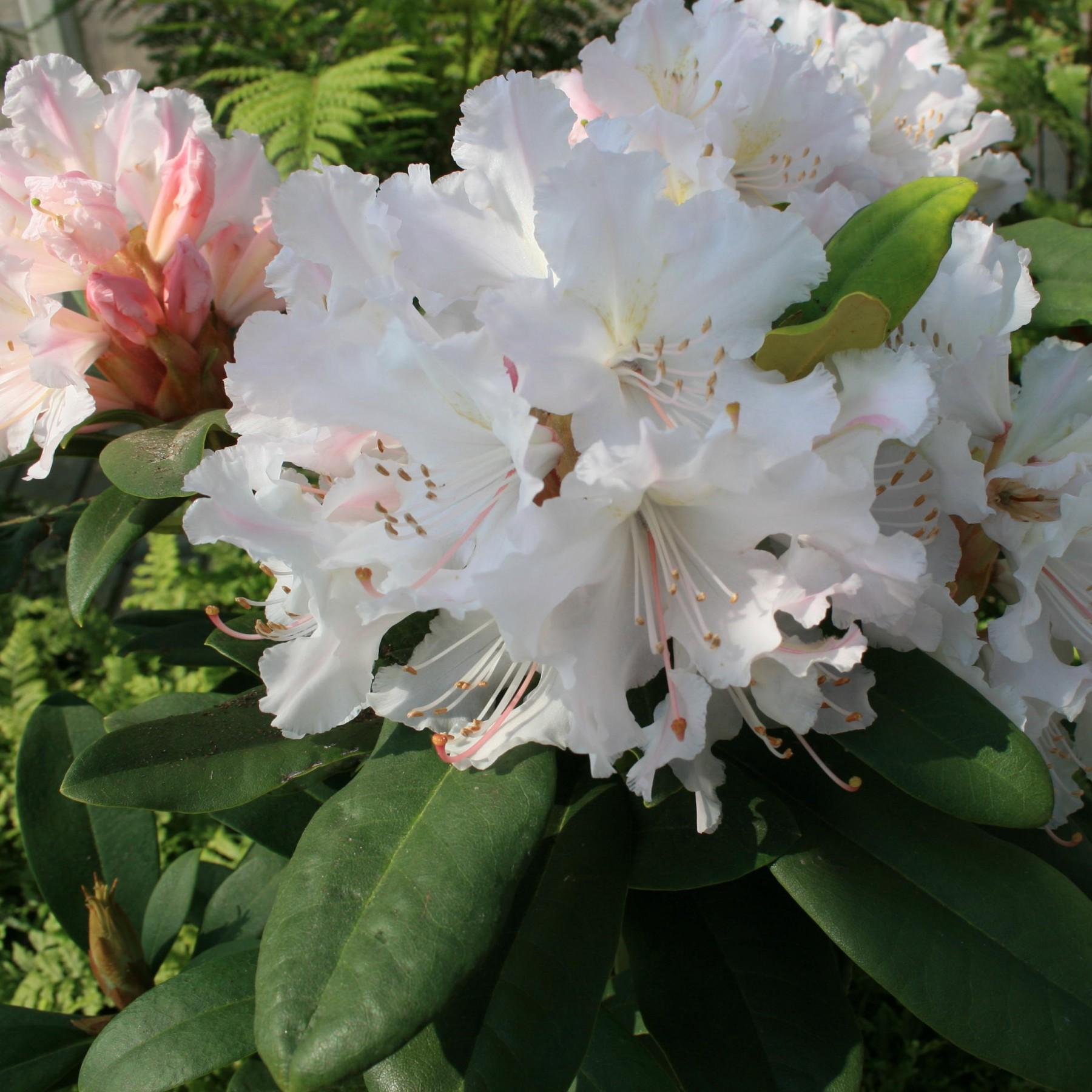 Jacksonii - Rhododendron