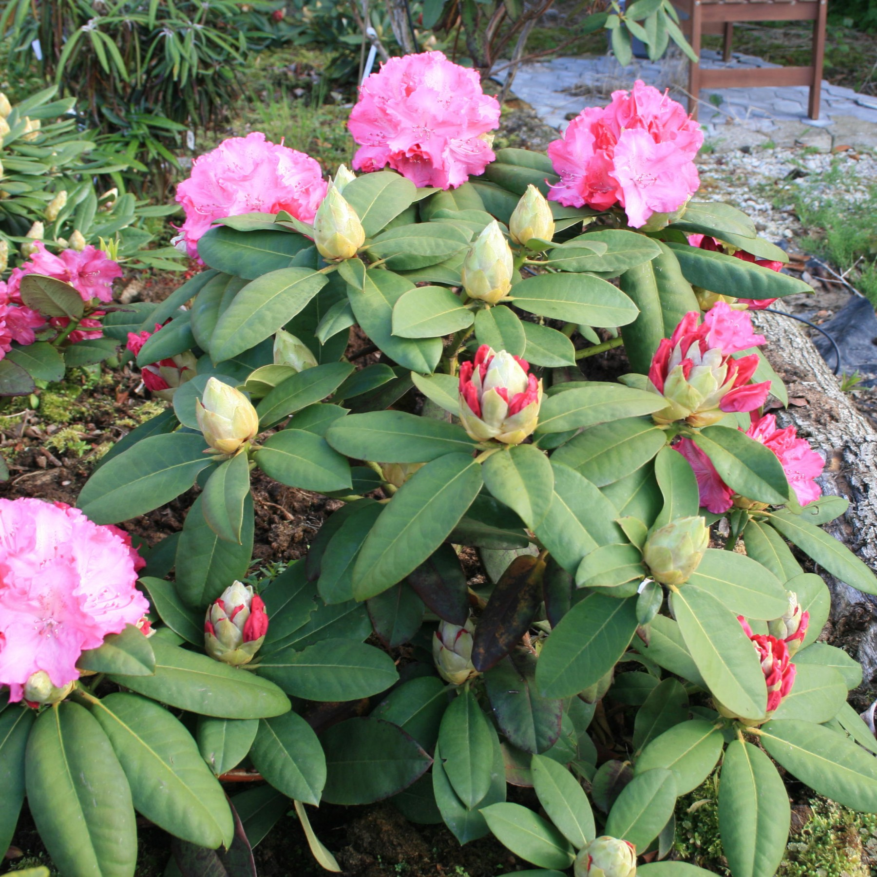 Germania - Rhododendron