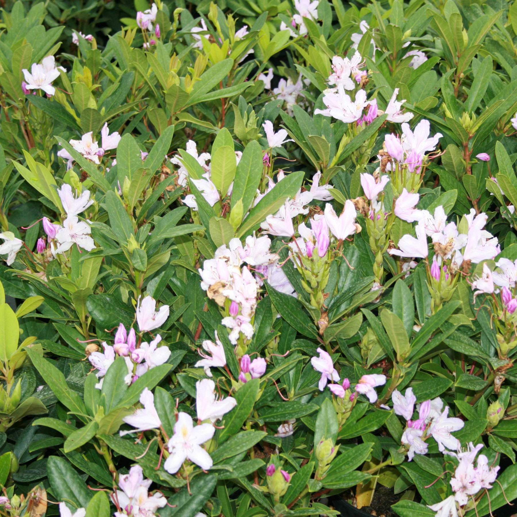 Septembercharm - Rhododendron