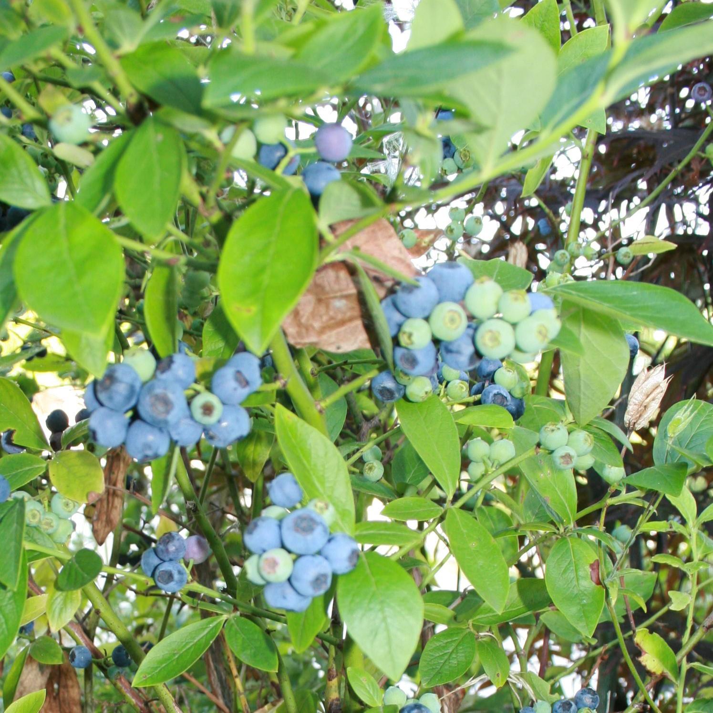 Brigitta amerikansk blåbær