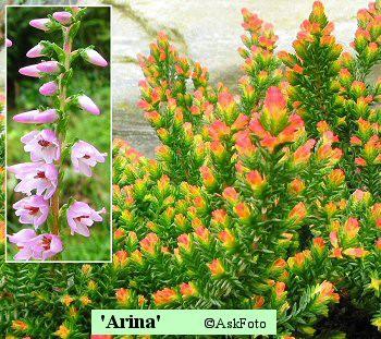 Calluna vulgaris Arina