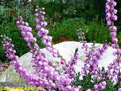 Calluna vulgaris H.E.Beale