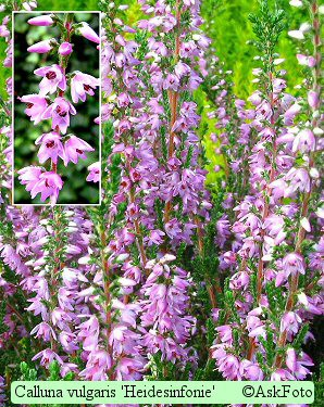 Calluna vulgaris Heidesinfonie