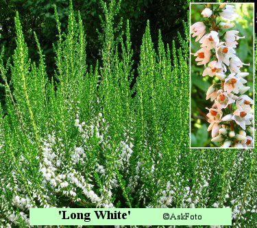 Calluna vulgaris Long White