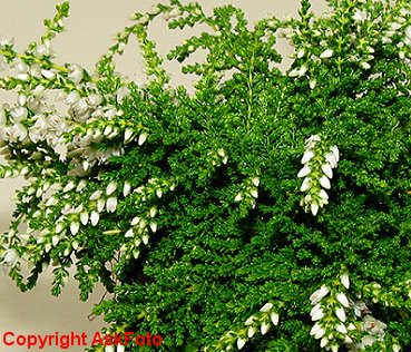 Calluna vulgaris Low White