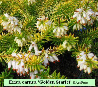 Erica carnea Golden Starlet