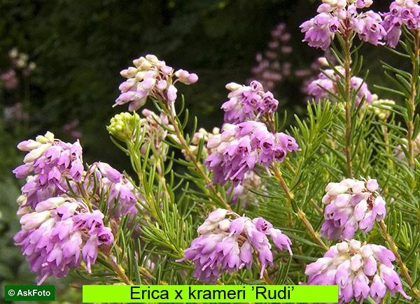 Erica x krameri Rudi