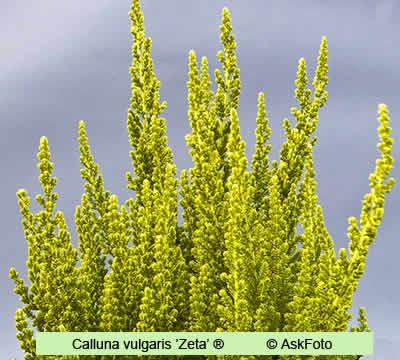 Calluna vulgaris Zeta