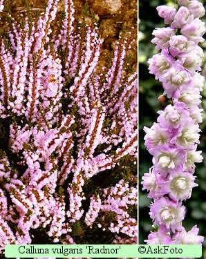 Calluna vulgaris Radnor