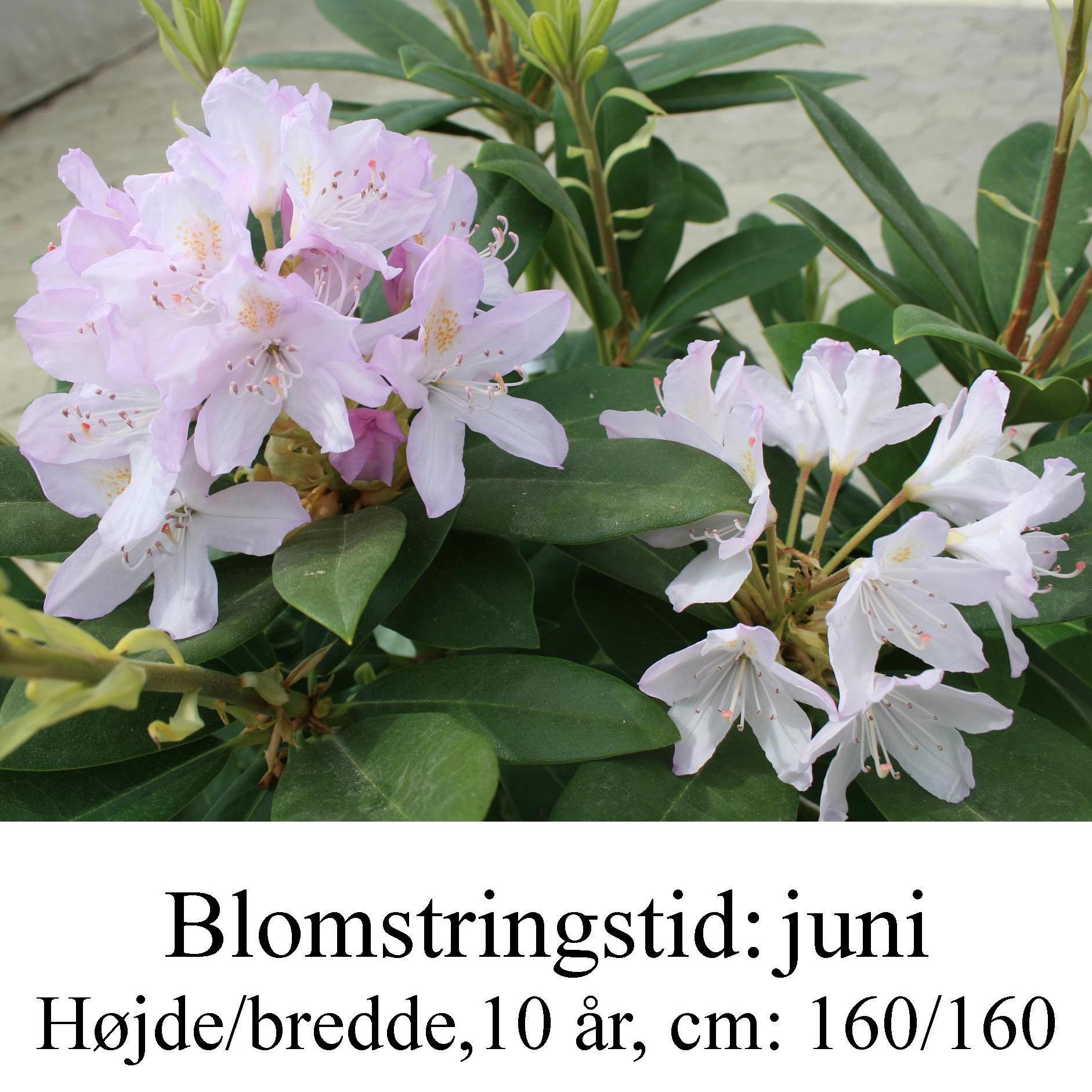rhododendron Catawbiense Album Novum