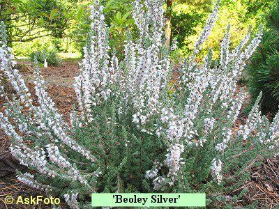 Calluna vulgaris Beoley Silver
