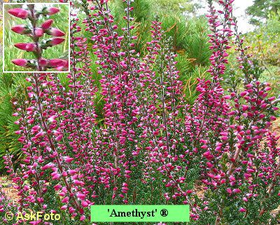 Calluna vulgaris Amethyst