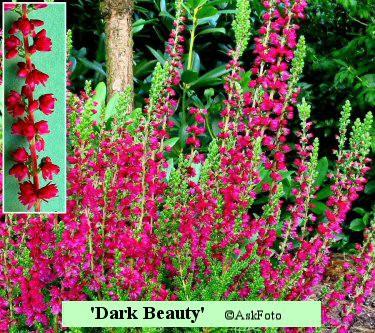 Calluna vulgaris Dark Beauty