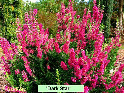 Calluna vulgaris Dark Star