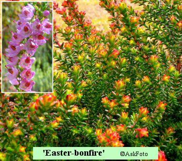 Calluna vulgaris Easter-bonfire
