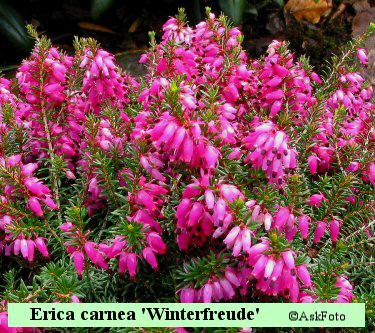 Erica carnea Winterfreude