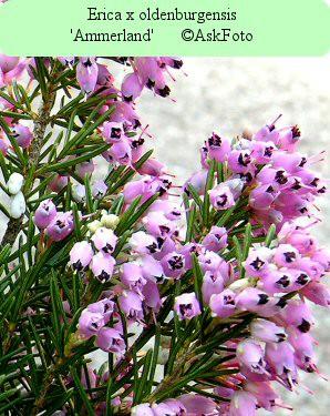 Erica x oldenburgensis Ammerland