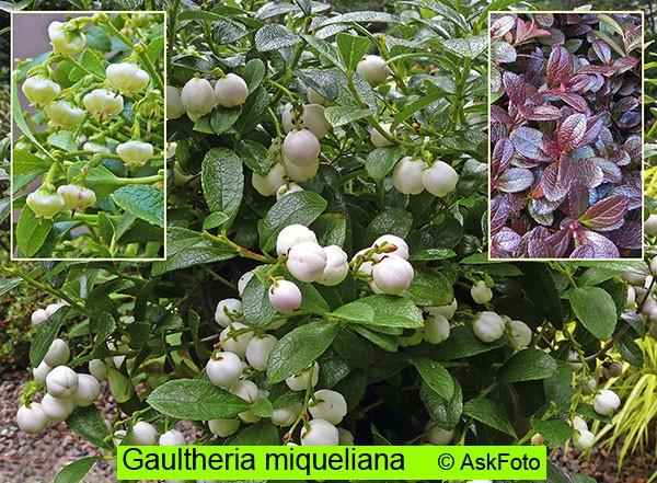 Gaultheria miqueliana