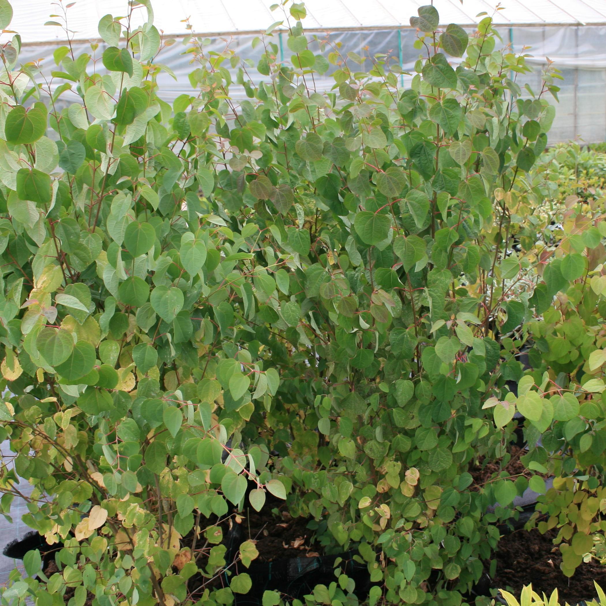 Cercidiphyllum japonicum Hjertetræ