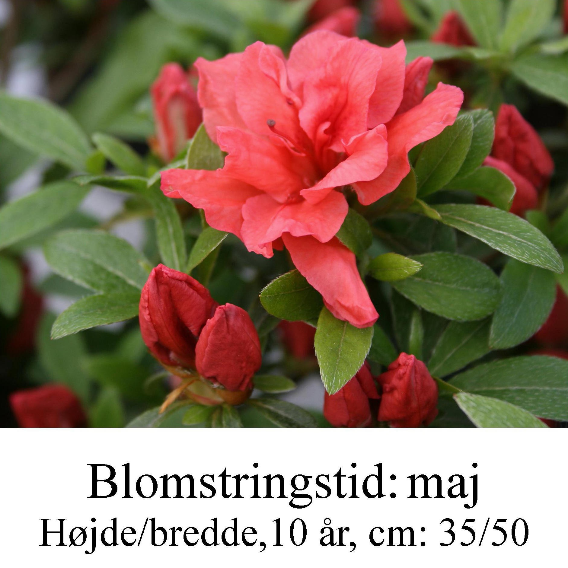rhododendron Cherie
