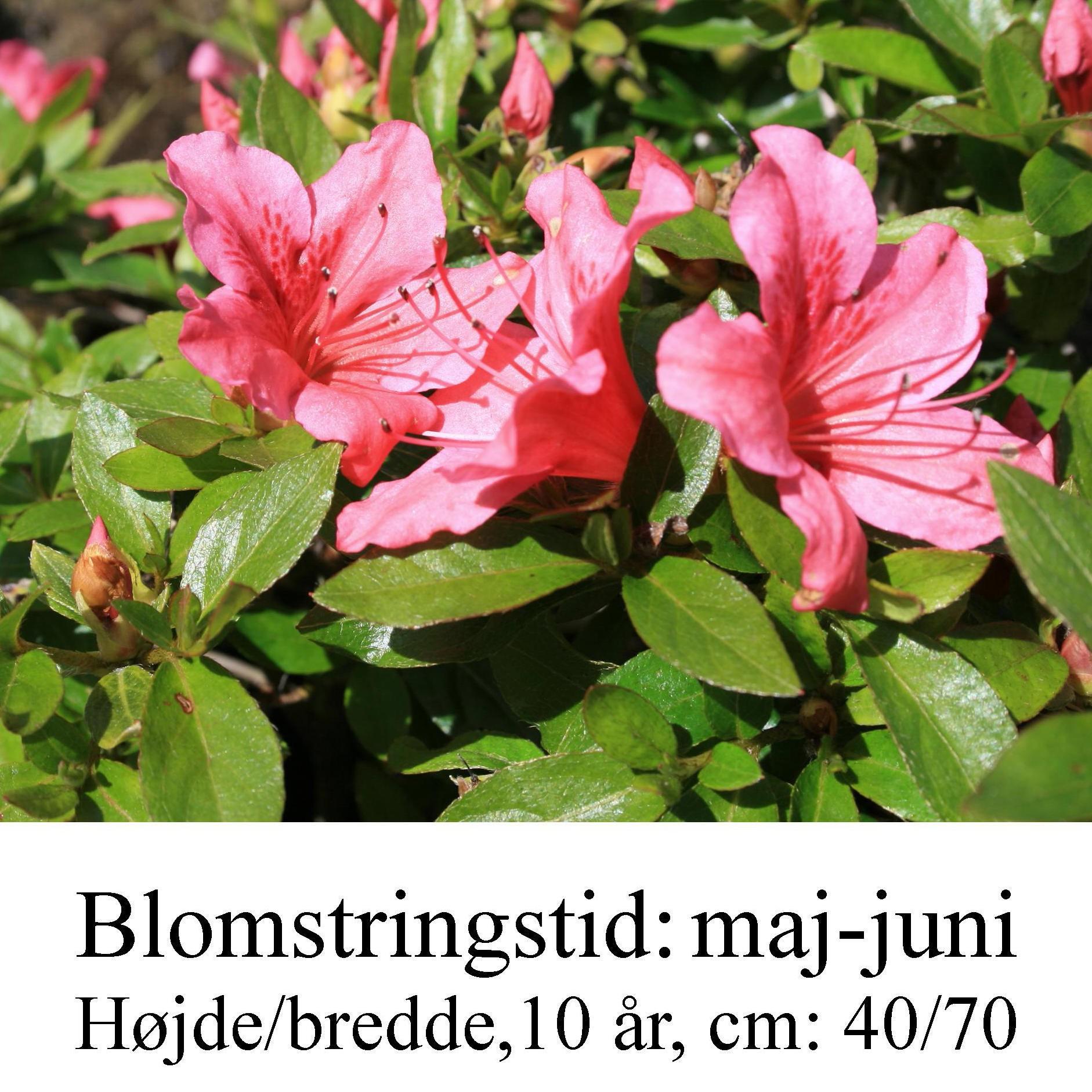 rhododendron Chippewa