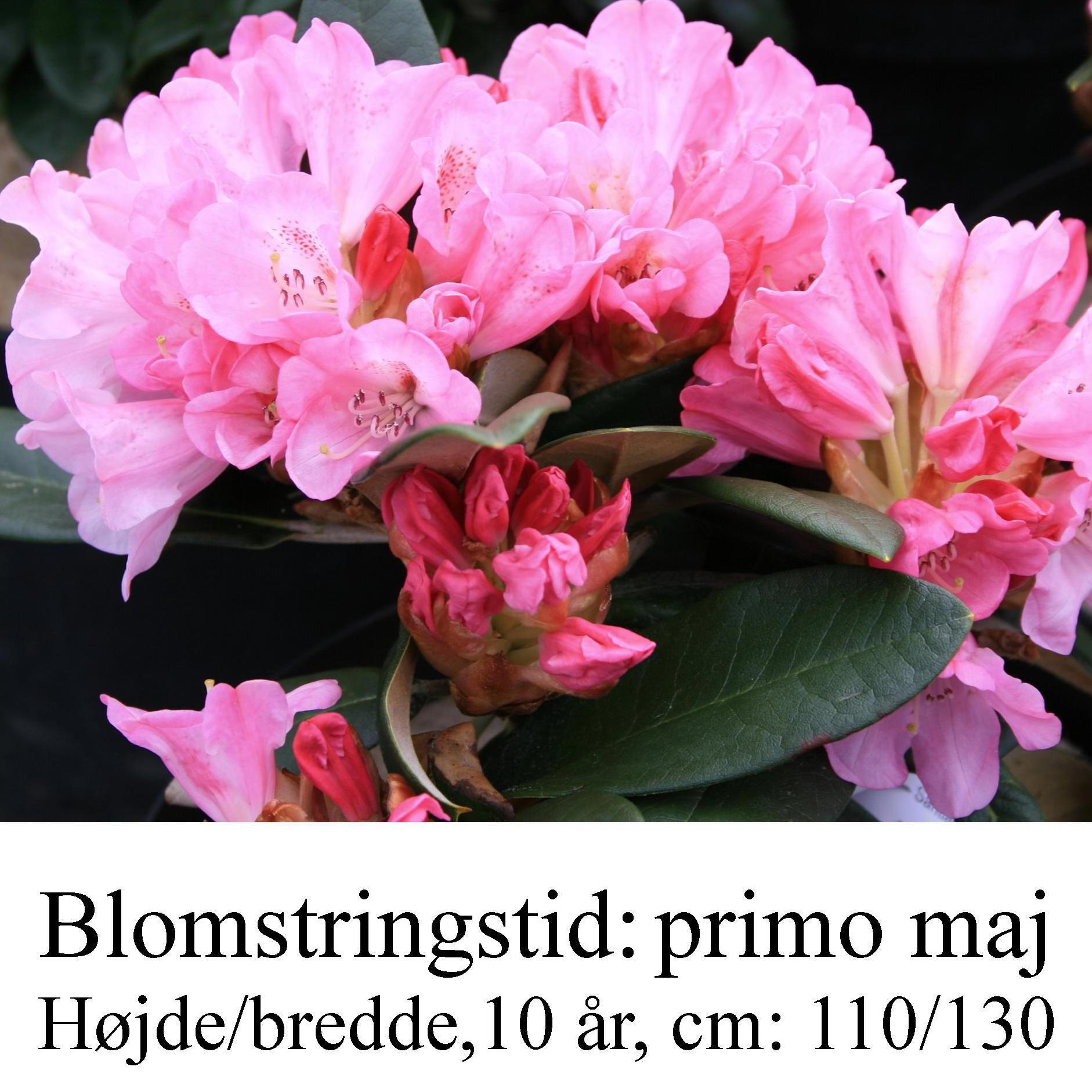 rhododendron Santiago