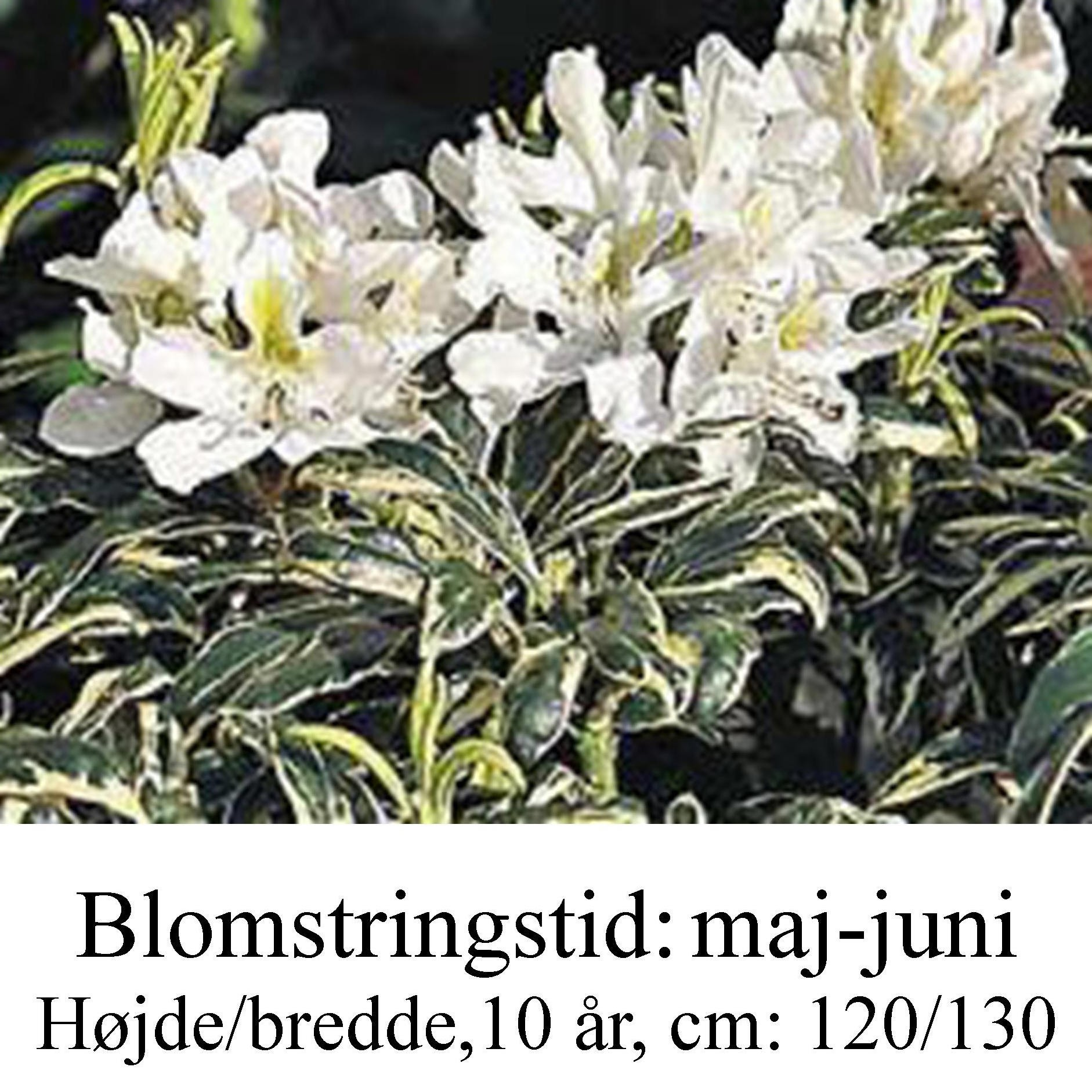 rhododendron Claydian Variagated