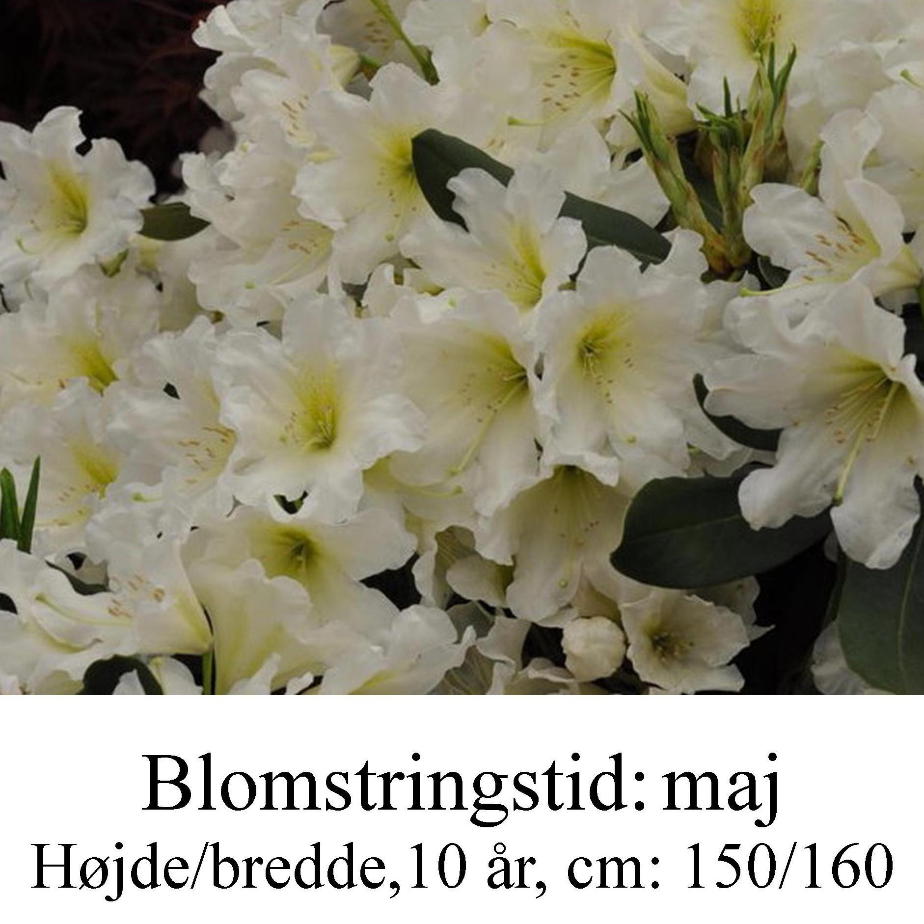 rhododendron Dufthecke, hvid