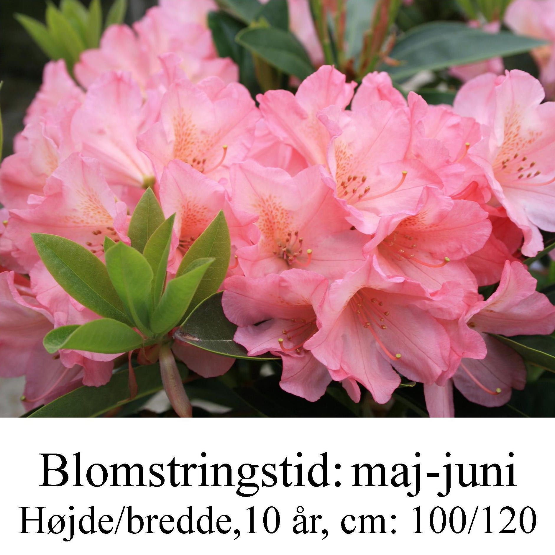 rhododendron Diana