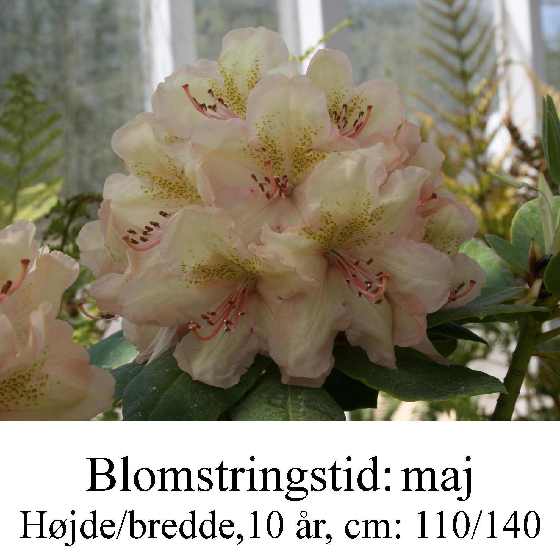 rhododendron Belkanto