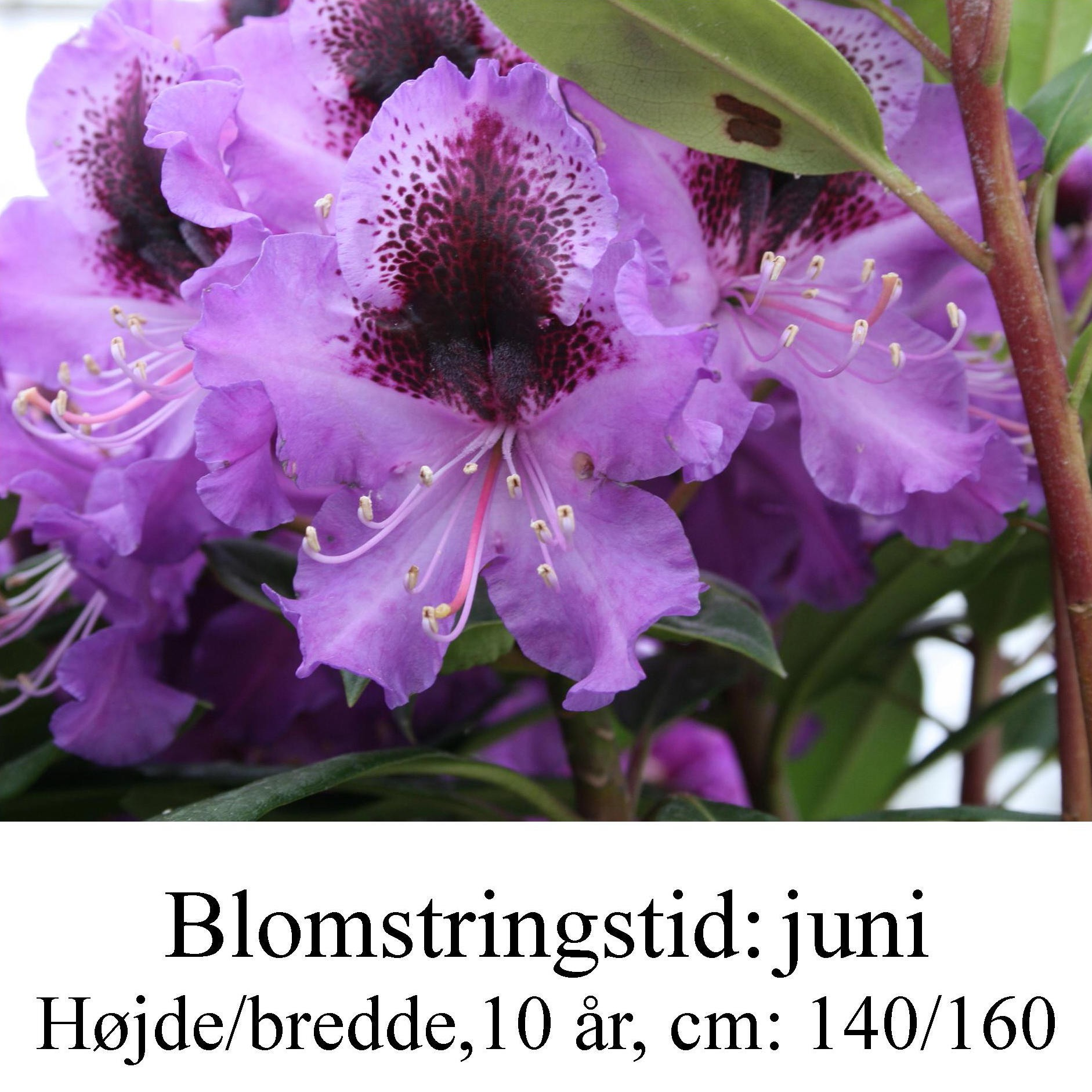 rhododendron Blaue Jungs