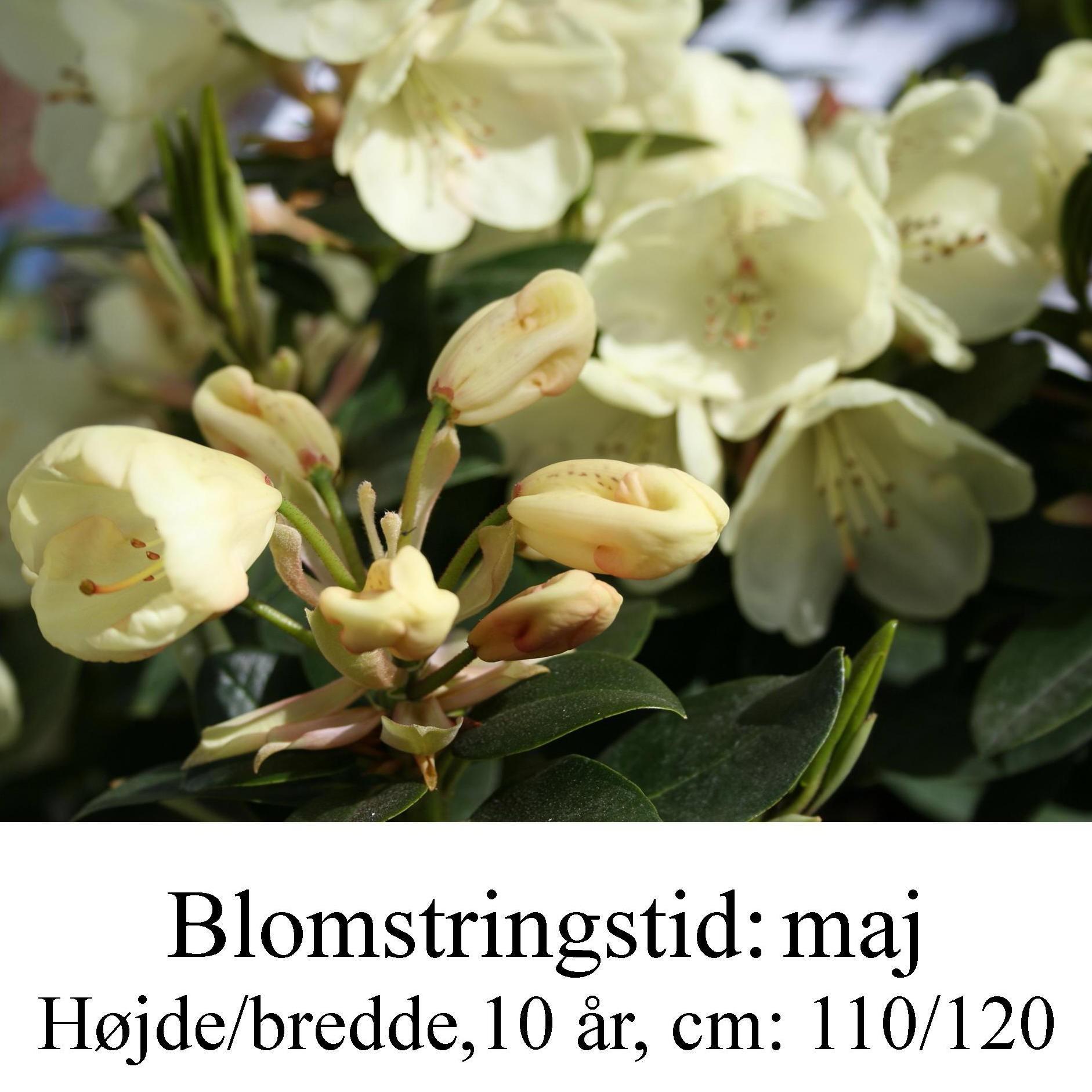 rhododendron Graf Lennart