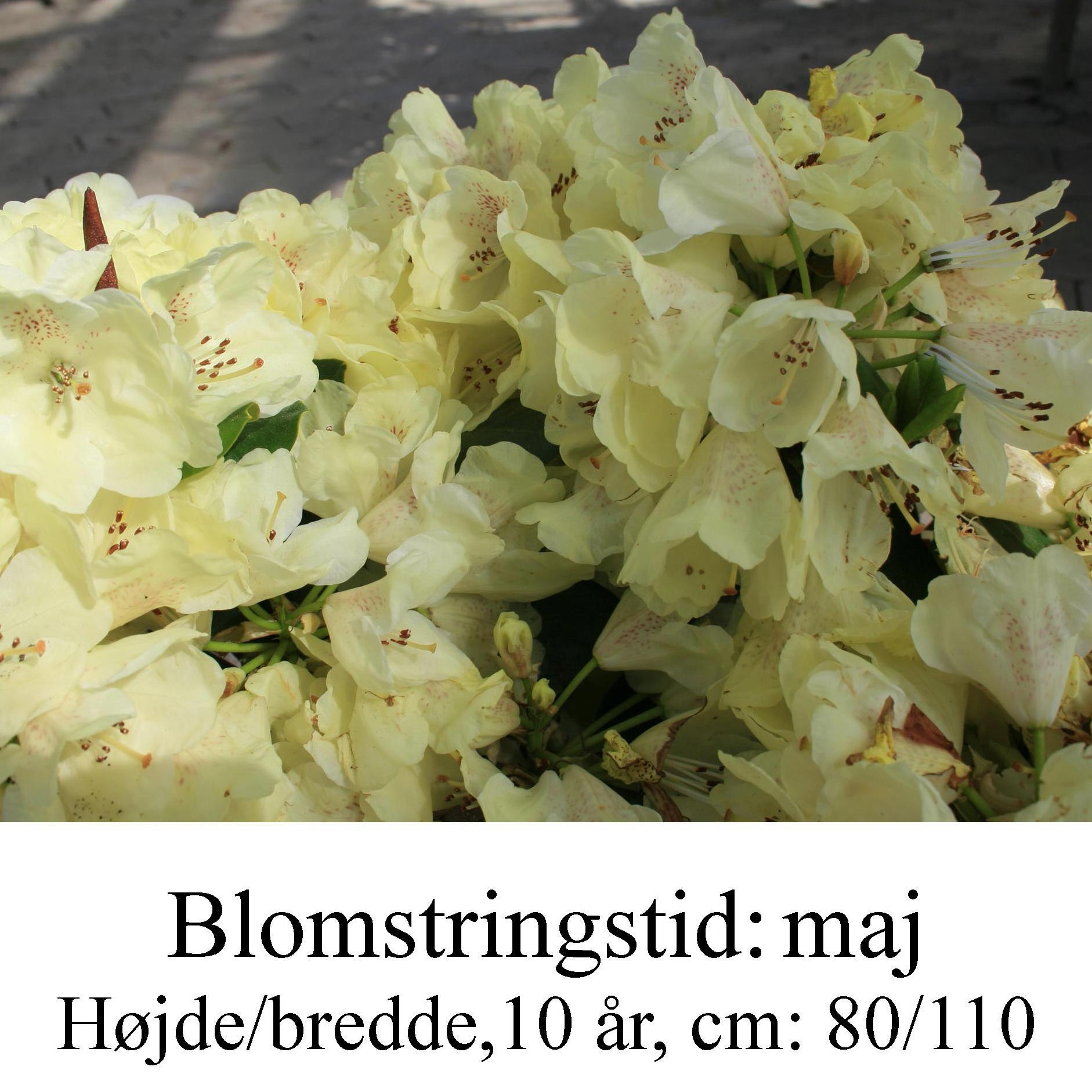 rhododendron Goldkrone
