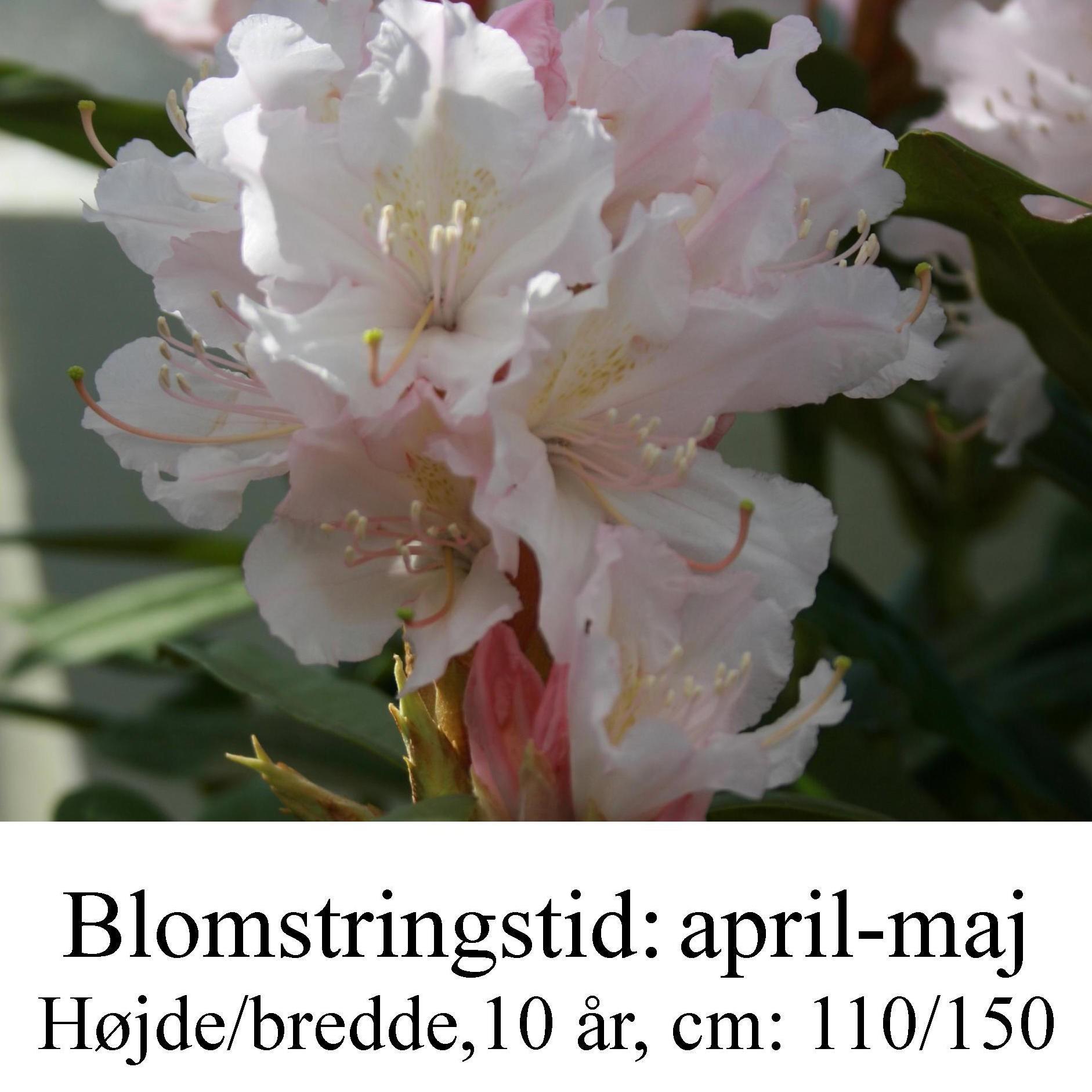 rhododendron Jacksonii