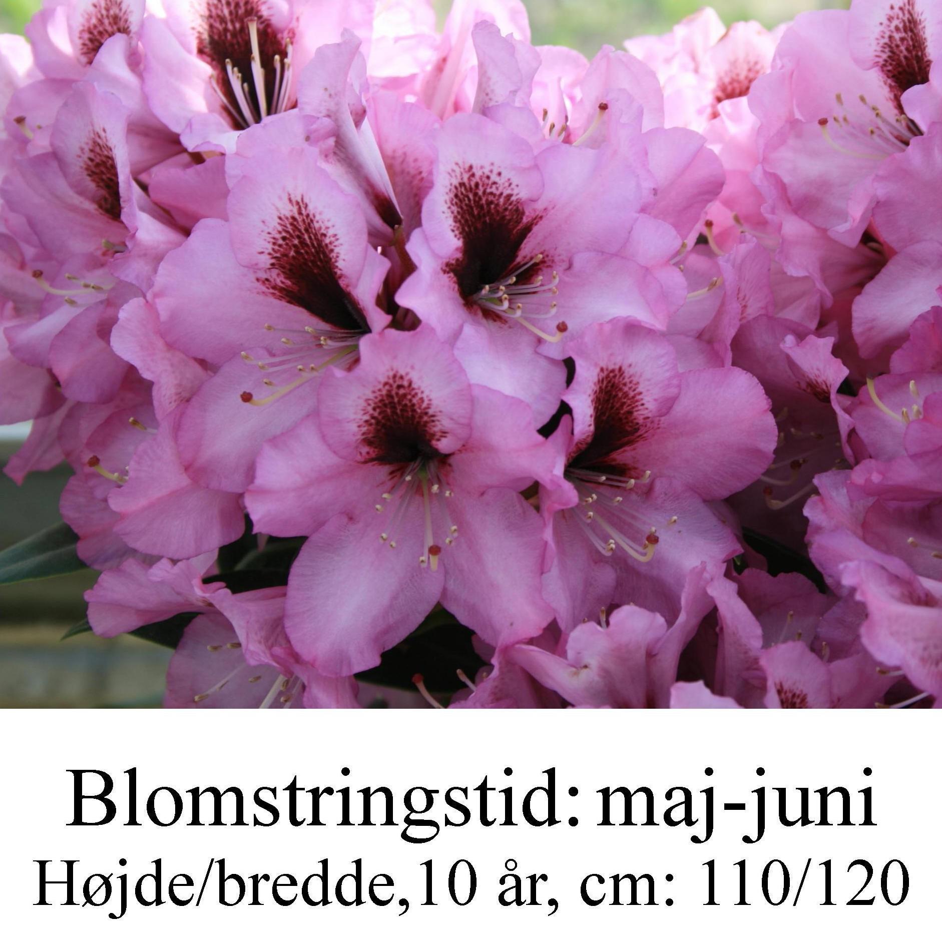Kokardia rhododendron