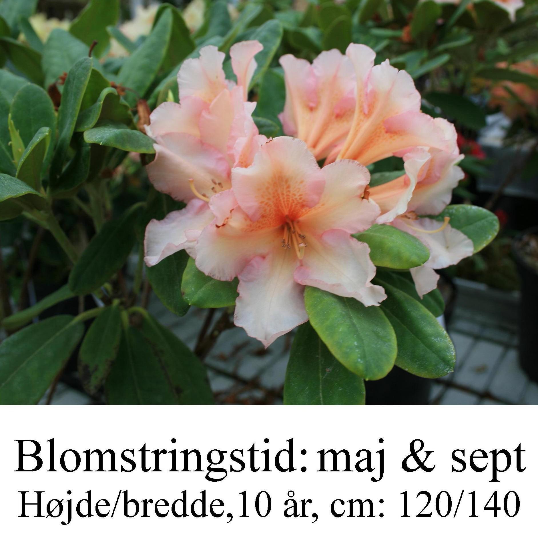 rhododendron tåstrup