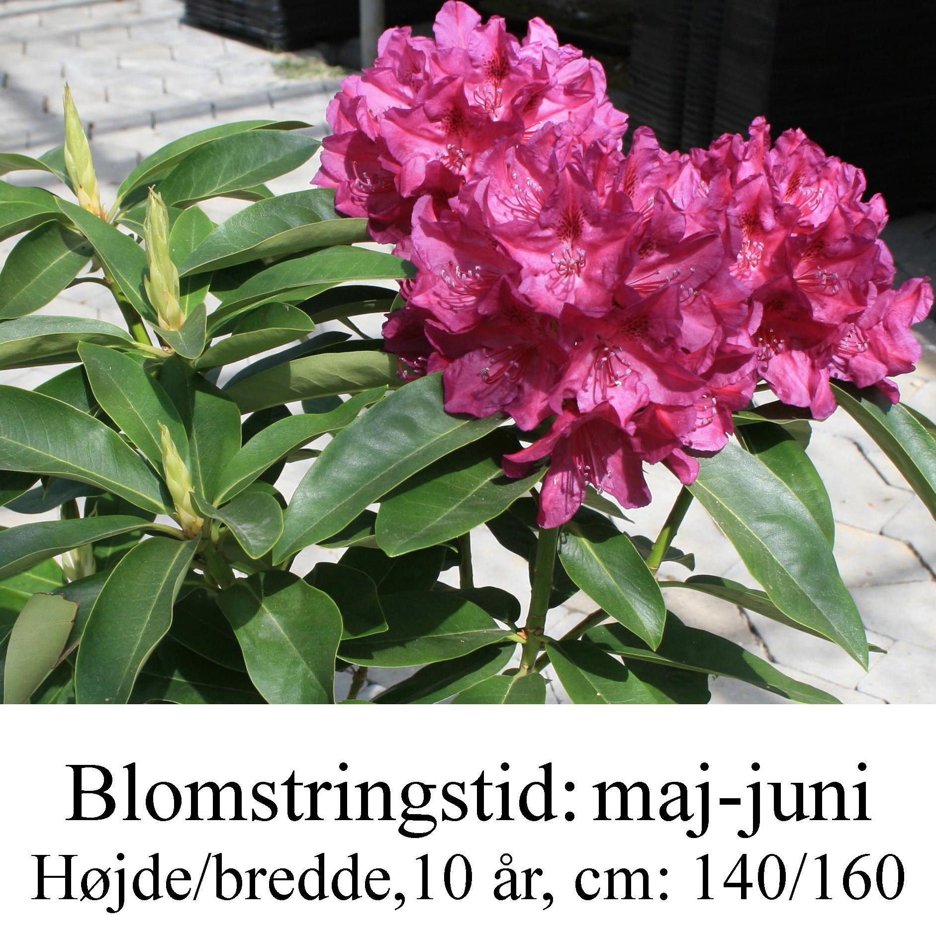 """Rhododendron """"Old Port"""