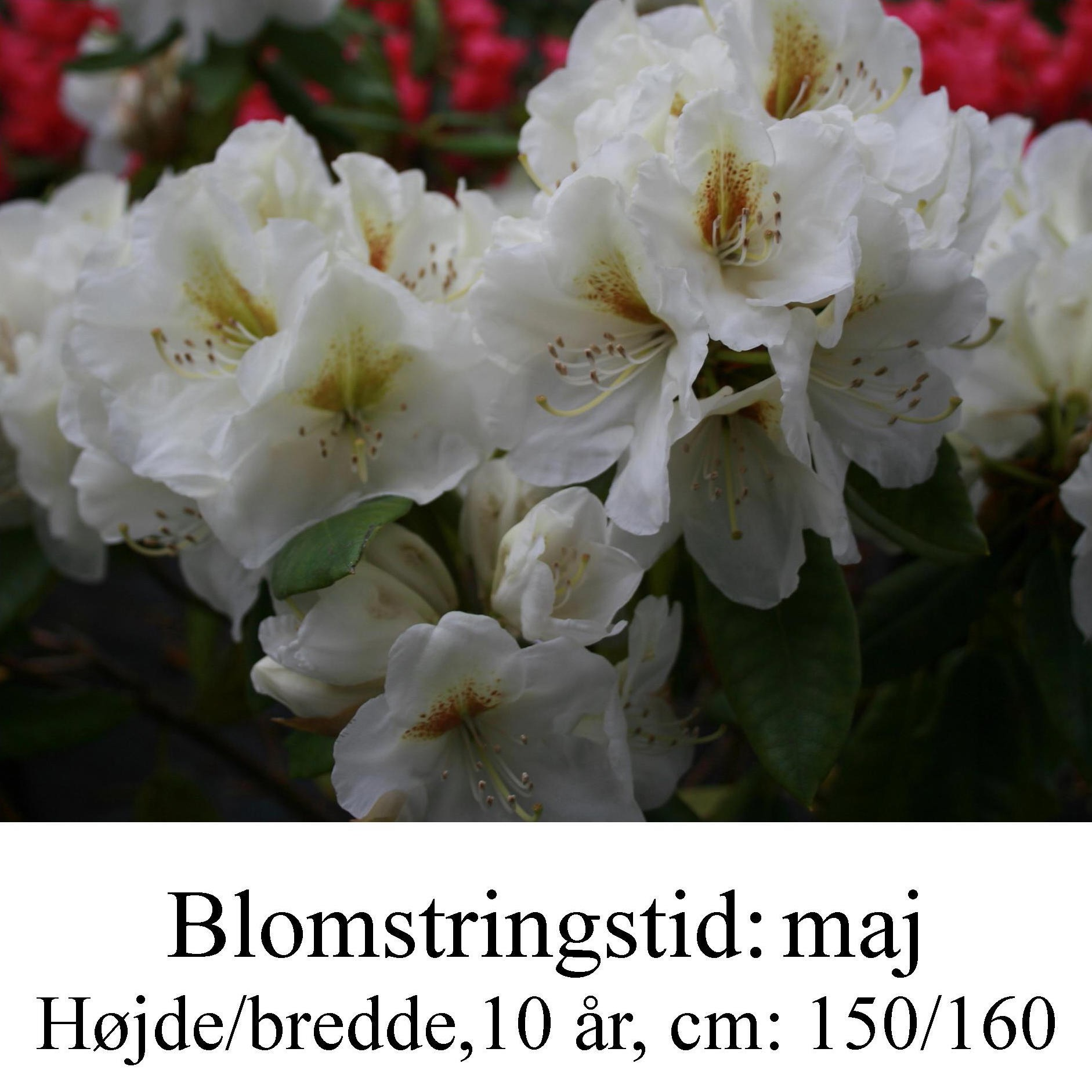 """Rhododendron """"Phyllis Korn"""