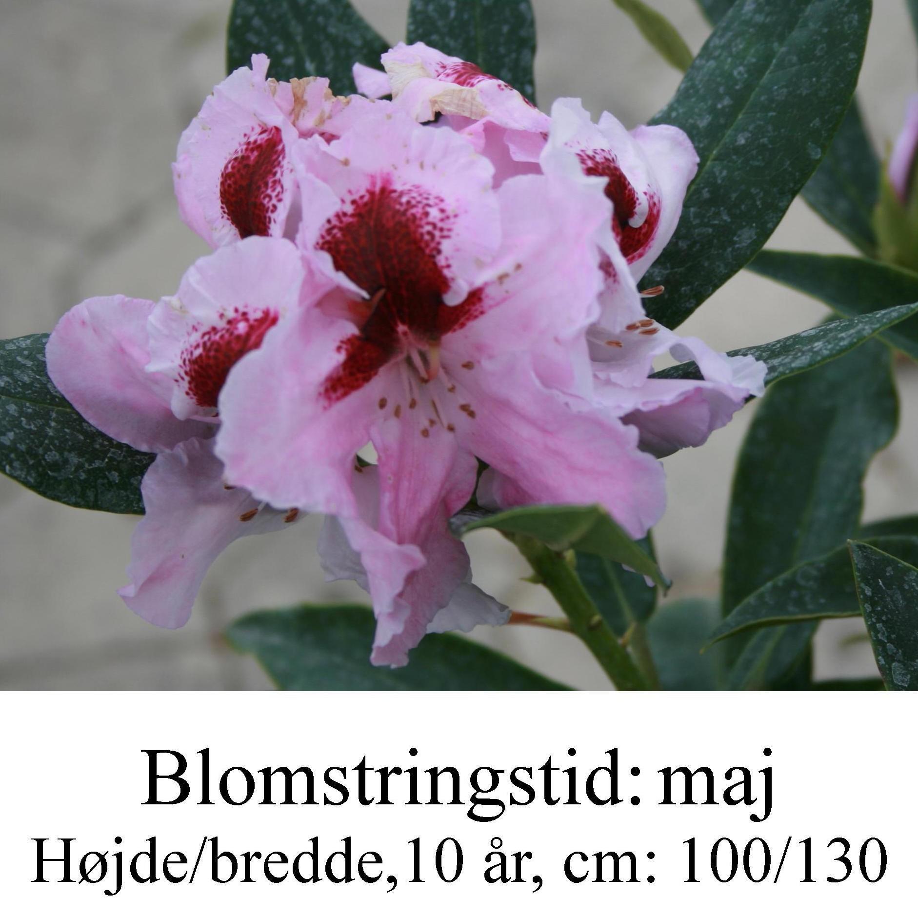 """Rhododendron  """"Sapporo"""