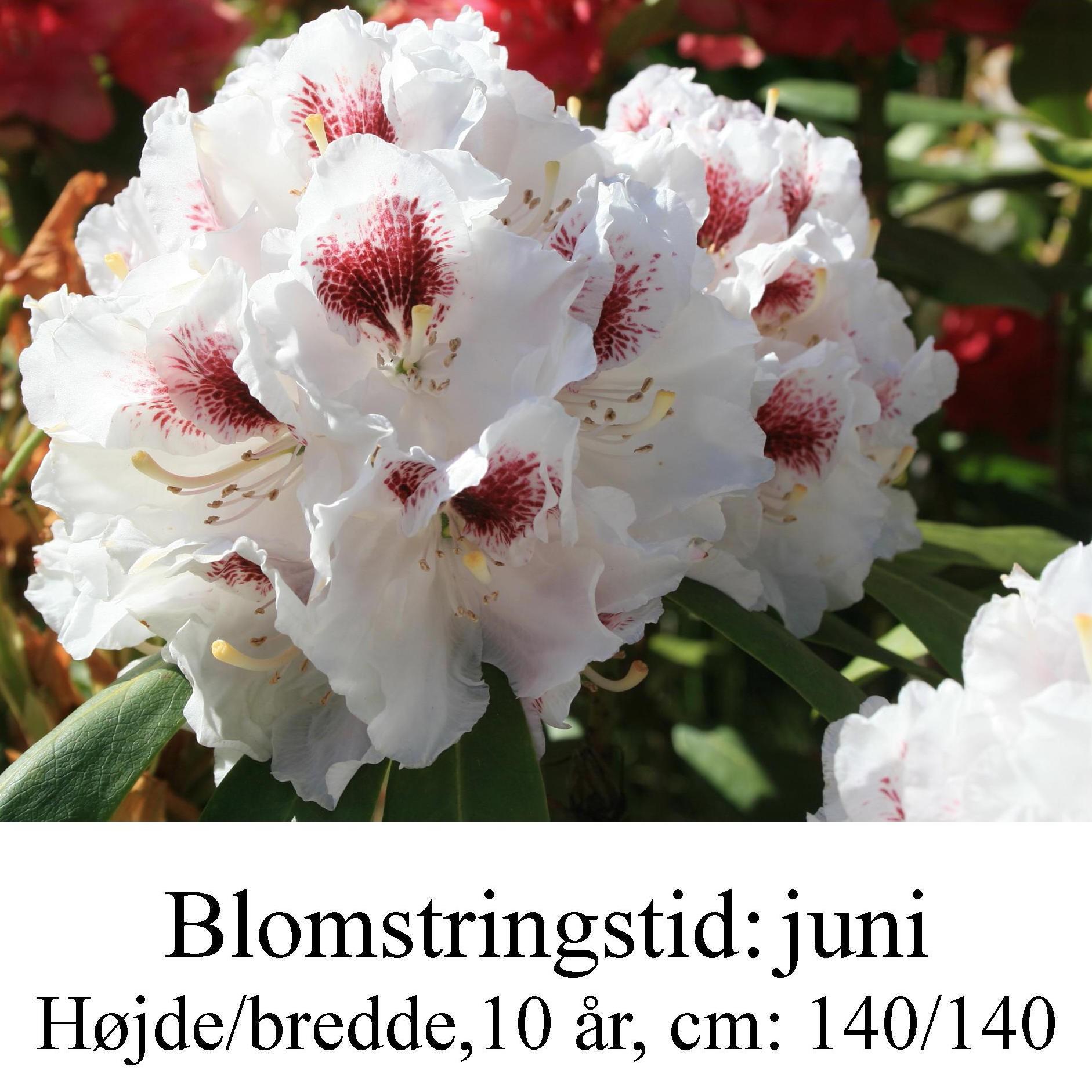 """Rhododendron  """"Schneebukett"""""""