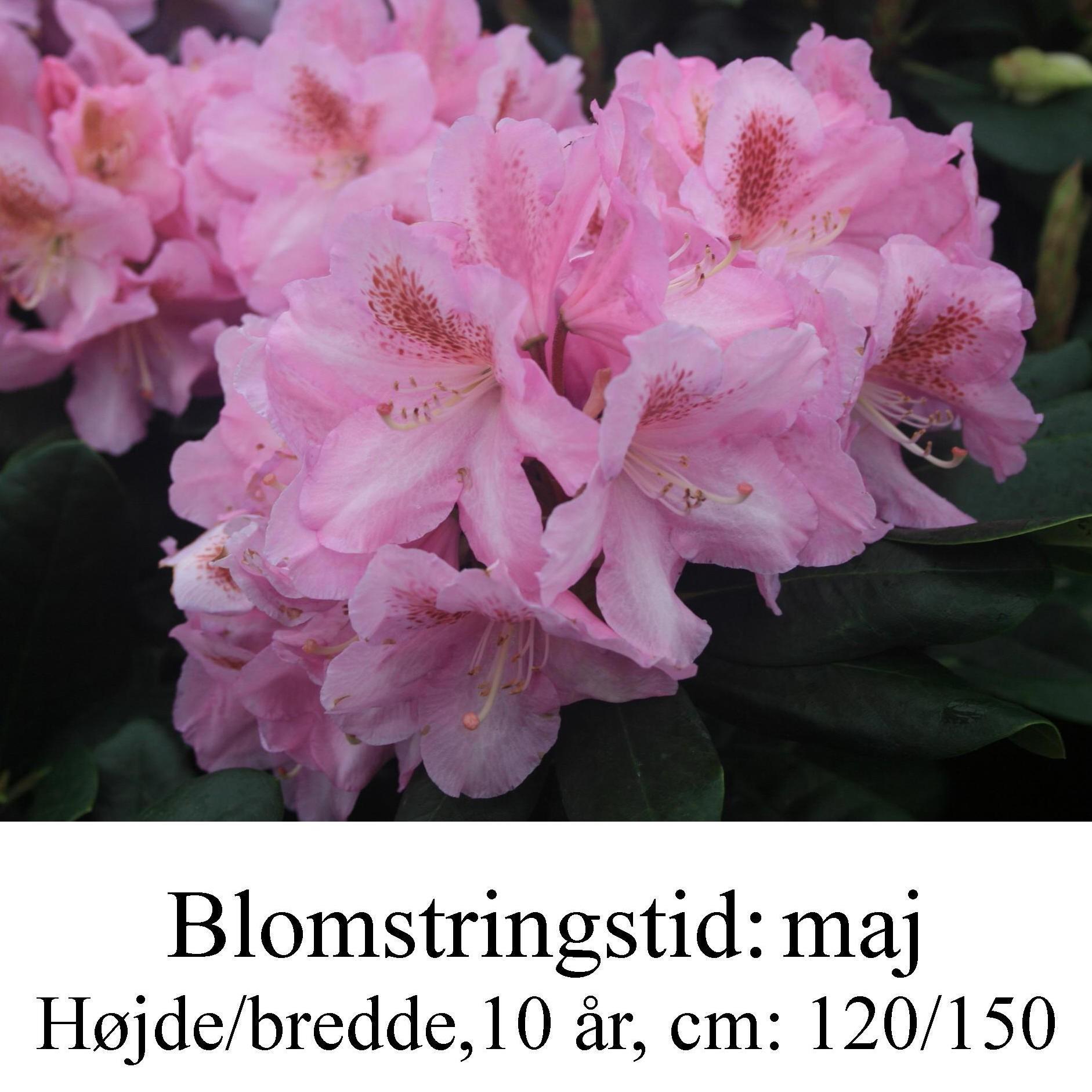 "Rhododendron  ""Scintillation"