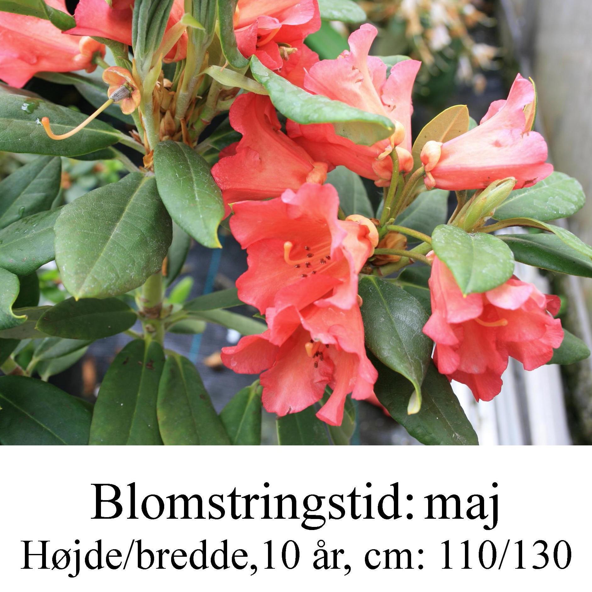 """Rhododendron  """"Vorwerk Abendsonne"""