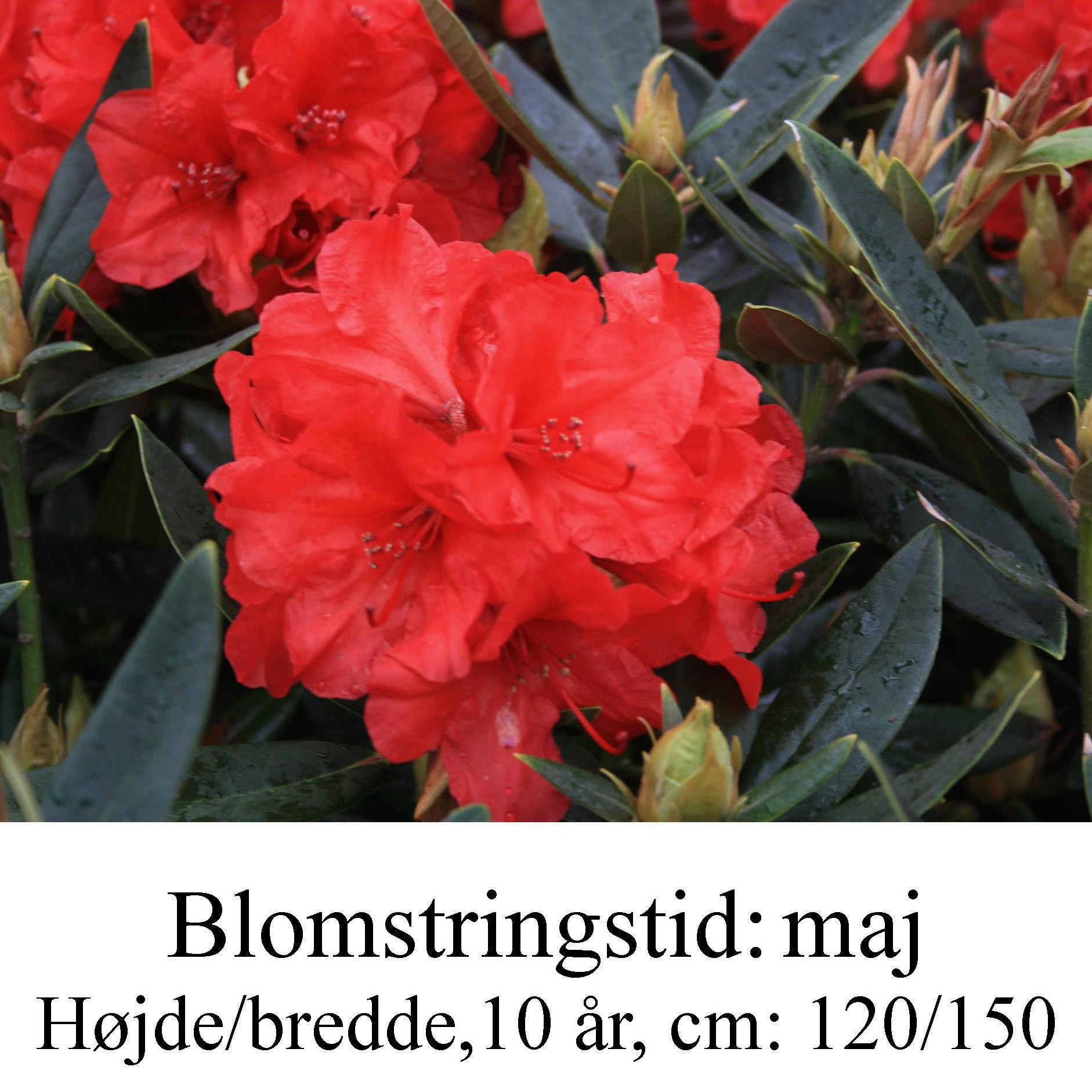 """Rhododendron  """"Vulcans Flame"""