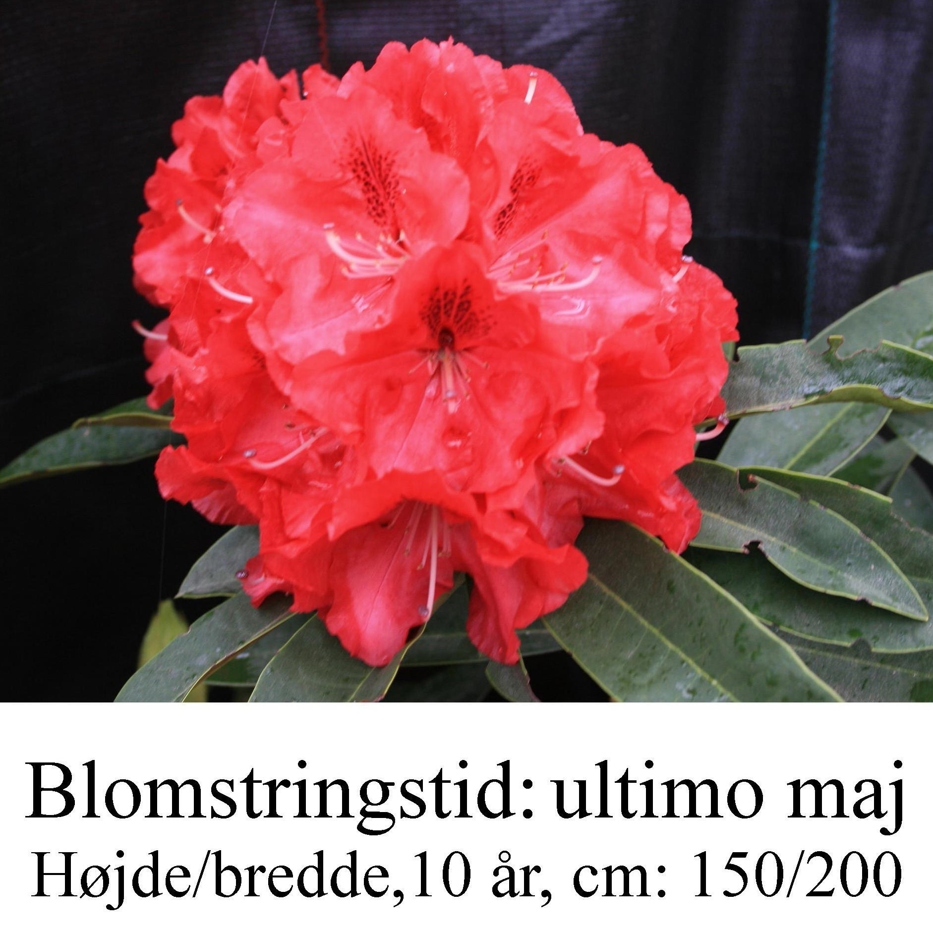 "Rhododendron  ""Wilgen's Ruby"