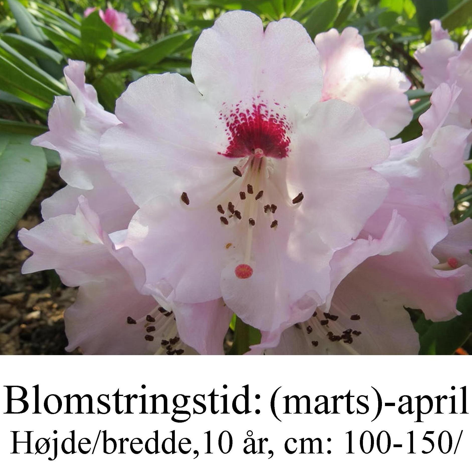 rhododendron praevernum