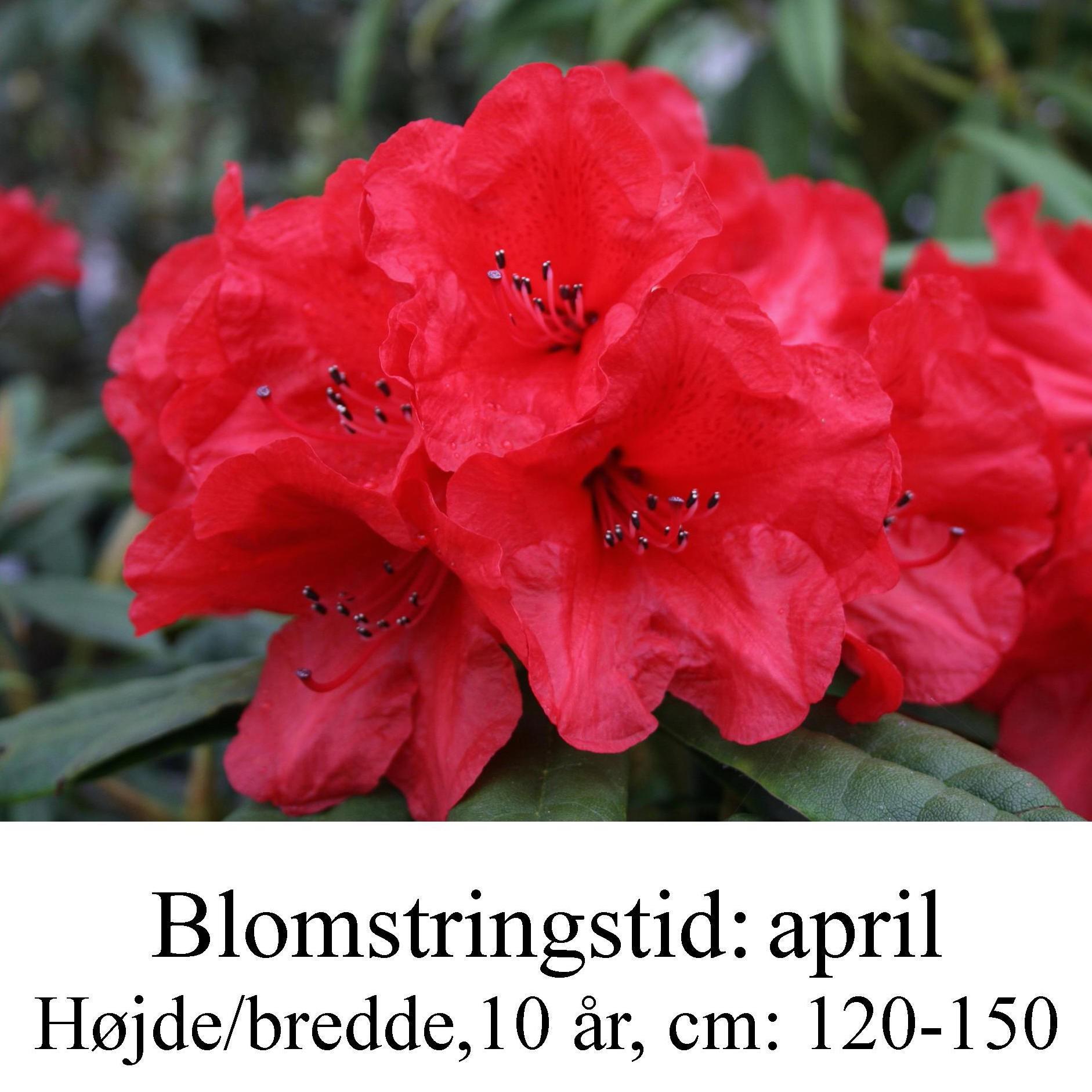 rhododendron strigillosum